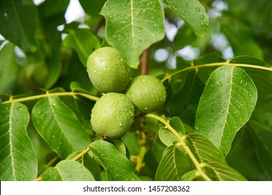 Close up Picture of three unriped joung walnut fruits in geen nutshell on the branch of walnut tree with leaves during the summer sunny day just after the rain in the organic orchard.