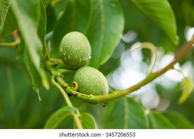 Close up Picture of two unriped jung walnut fruits in geen nutshell on the branch of walnut tree with leaves during the summer sunny day just after the rain in the organic orchard.