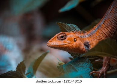 the close up picture of wild lizzard head with orange skin tone and blurry leaf background on the forest in Indonesia, Asia