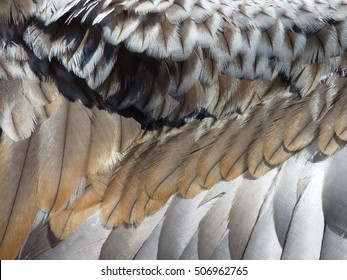 A close up picture of the wing feathers of a Black-breasted Buzzard.