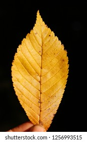 A close up picture of a yellow colored elm leaf at the start of autumn. The picture shows all the details in the elm leafs, the shape, the leaf nerves and jagged sides.