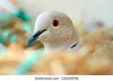 Close up of Pigeon while nesting her eggs. Motherhood, parenthood .