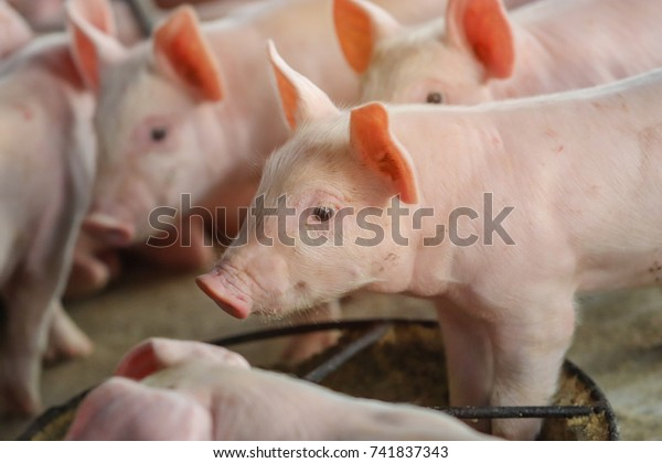 Close Piglet Waiting Feed Farm Pig Stock Image | Download Now