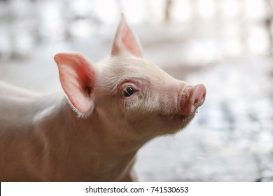 Close up piglet waiting feed indoor on a farm yard in Thailand. Swine in the stall. Close up eyes and blur. Portrait animal.