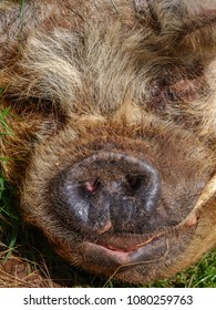 A close up of a pig's face from a UK farm. Snout in the foreground.