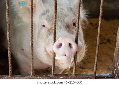 Close up of a pig's snout at a pig farm