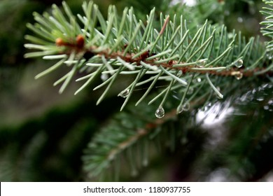 Close Up Pine Bough with Water Droplets