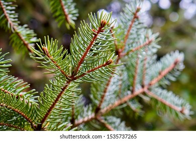 Close up of pine branch and needles