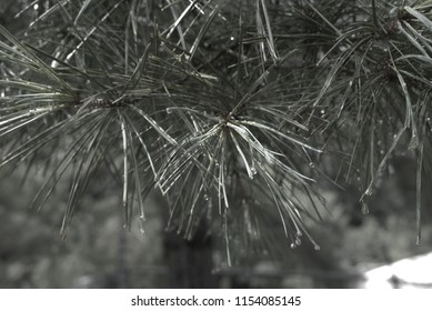 Close up of pine branches with rain drops shining on them