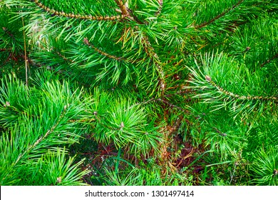 Close up of pine tree.