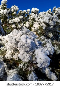 Close up of pine tree branches covered with a lot of snow on sunny day with bright blue sky