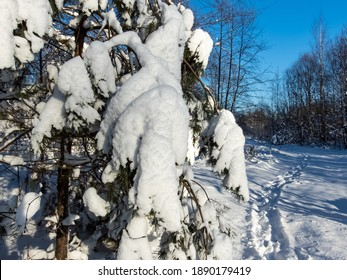 Close up of pine tree branches covered with a lot of snow with visible path in snow on sunny day with bright blue sky