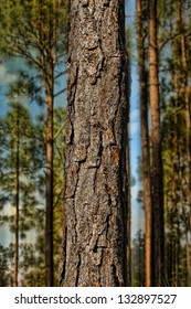 close up pine tree in a forest