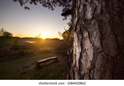 close up of a pine tree at sunset with a bench
