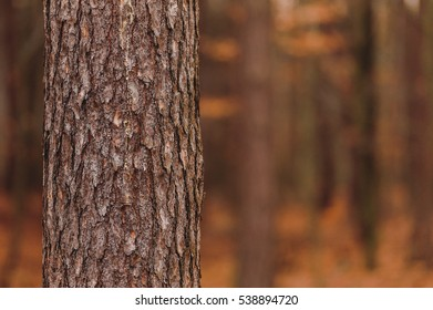 Close up of a pine tree trunk in a forest