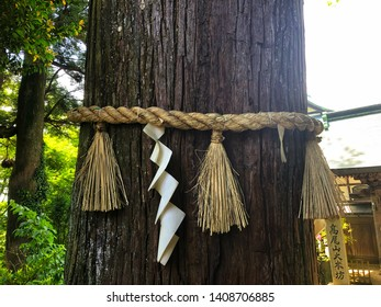 Close up of pine tree with the white enclosing rope or Shimenawa in Japanese language. It believed to act as a ward against evil spirits in Japan.