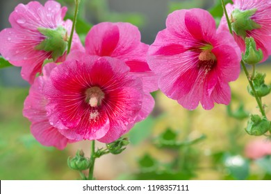 Close up Pink Alcea or Hollyhock flower blooming in the field, morning sunlight, shallow depth of field. Pink Hollyhock flower blossom