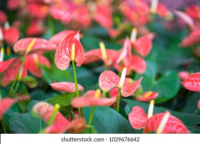 Close up of Pink Anthurium or flamingo flowers in garden