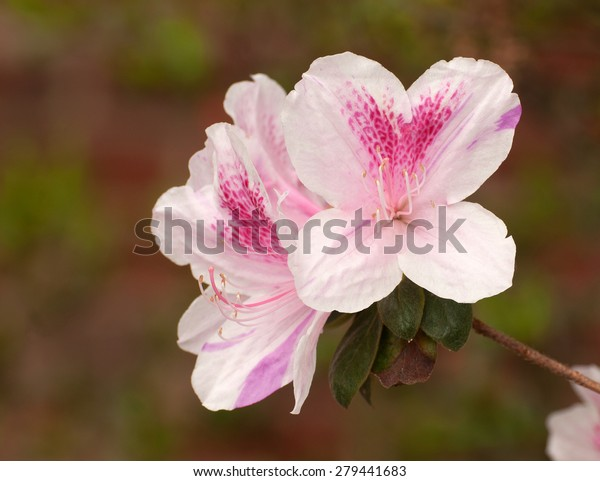 Close up of pink azalea flowers, ericaceae, isolated against background