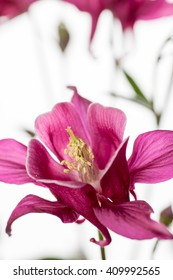 Close up  of Pink Biedermeier Columbine Flowers on White Background