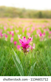 Close up of pink blooming Siam Tulips in Thai national park in Chaiyaphum,Thaialand. There are many pink Siam tulip in front of blurred white rock background. It is one of the most famous destination