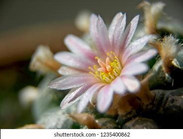 Close up of pink blossom of Lophophora Williamsii - Peyote cactus