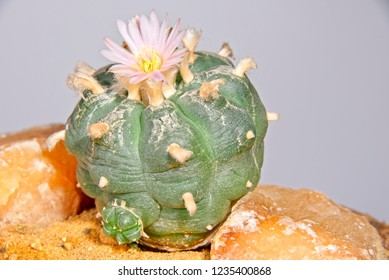 Close up of pink blossom of Lophophora Williamsii - Peyote cactus on gray background