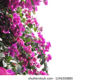 Close up pink Bougainvillea flower and green leaves at sunny day isolated on white background