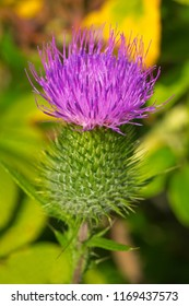 Close up of a pink Bull Thistle flower. Also known as Common Thistle and Spear Thistle. Todmorden Mills Park, Toronto, Ontario, Canada.
