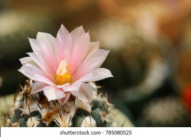 Close up pink cactus flower blooming with warm sunlight background