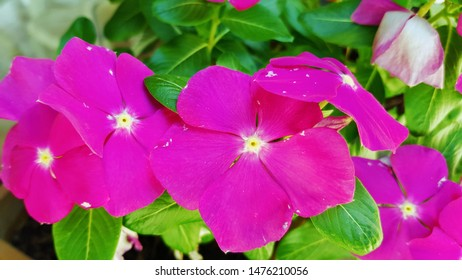 Close up pink Catharanthus roseus, commonly known as bright eyes, Cape periwinkle, graveyard plant, Madagascar periwinkle, old maid, pink periwinkle or rose periwinkle