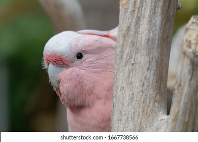 Close Up of a Pink Cockatoo Peeking out from Behind a Branch, Horizontal, Selective Focus with Copy Space