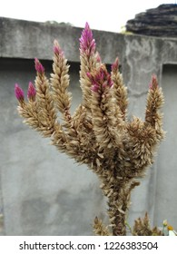 Close up of pink cockscomb flowers that are dry and wilt but there are many seeds that are ready to propagate ,selected focus.