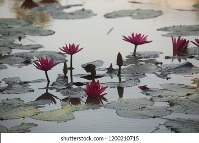 close up pink color fresh lotus blossom or water lily flower blooming on pond background, Nymphaeaceae.