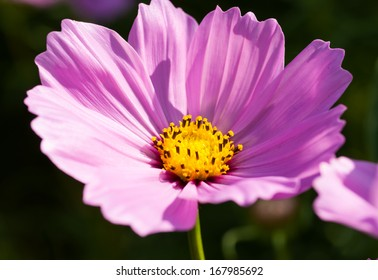Close up pink cosmos
