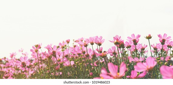 Close up pink cosmos flower in the meadow at sun set over white sky. Panoramic style with vintage filter effect. Violet color floral banner background.