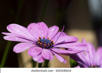 Close Up of Pink Daisy with a vertical Petals Sharp only
