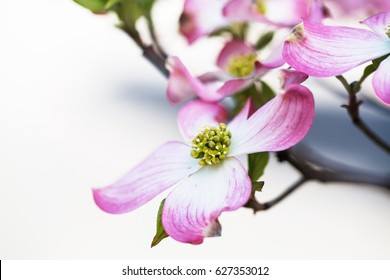 Close up of pink Dogwood Tree bloom in Smoky Mountains of Tennessee