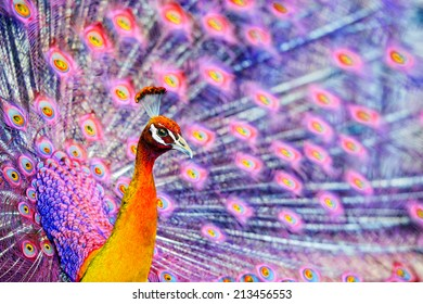 A close up of a pink and fiery orange fantasy concept of a peacock like bird displaying his tail feathers in the background.  Artist own coloration.