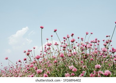 close up pink flower field with blue sky
