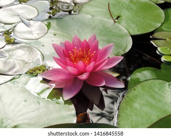 Close up of the pink flower of water lily Nymphaea Escarboucle. Poland, Europe