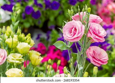 Close up of pink flowering lisianthus or eustoma plants blossom in flower garden