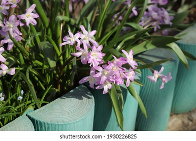 A close up of pink flowers of Chionodoxa forbesii (Forbes' glory-of-the-snow) of the 'Pink Giant' variety in the garden in early spring