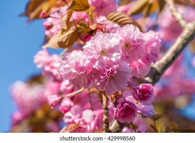 Close up of the pink flowers of japan sakura cherry tree in April against bright blue sky as beautiful nature spring background