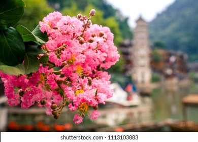 Close up pink flowers at Pheonix ancient town (Fenghuang ancient town),hunan,china