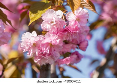 Close up of the pink flowers of sakura cherry tree in April against bright blue sky as beautiful nature spring background