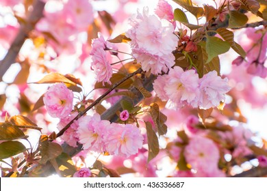 Close up of the pink flowers of sakura  cherry tree in April against bright sky as beautiful nature spring background