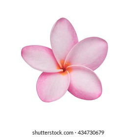 Close up pink frangipani flower isolated on white background