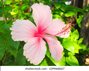close up pink hibiscus flower on green leaf background . other name: Rose mallow . scientific name: hibiscus rosa sinensis . this flower can make tea .