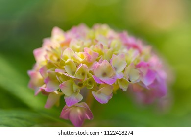 Close up of a pink hydrangea in the beginning of the blooming
